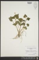 Viola pubescens var. pubescens image