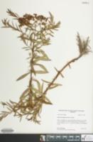 Image of Hypericum adpressum