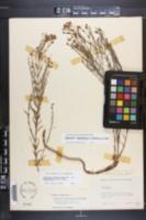 Hypericum radfordiorum image