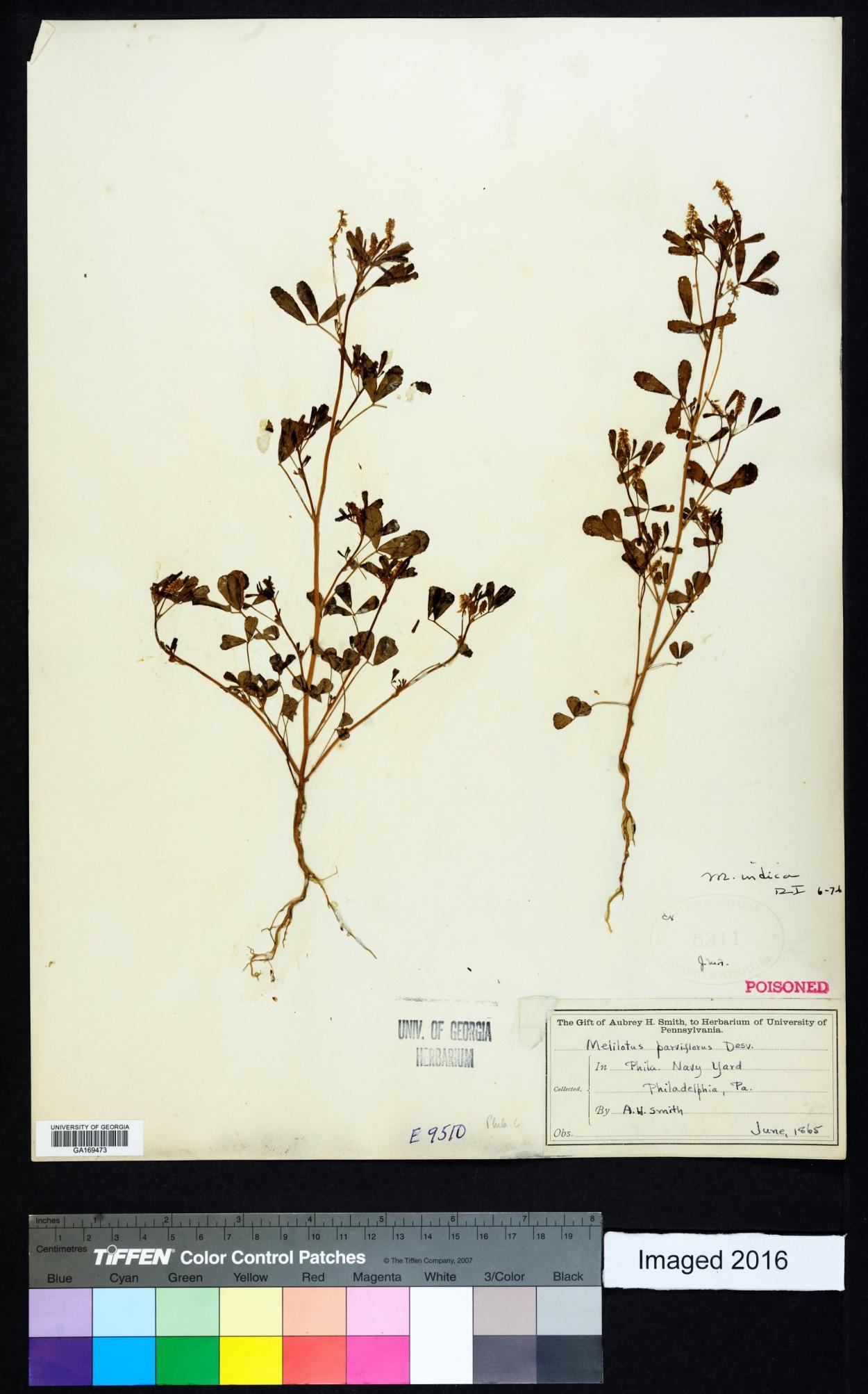 Melilotus parviflora image