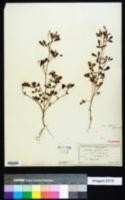 Image of Melilotus parviflora