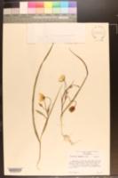Calochortus umbellatus image