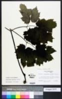 Actaea cordifolia image