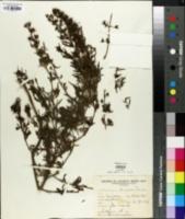 Image of Teucrium grisebachii
