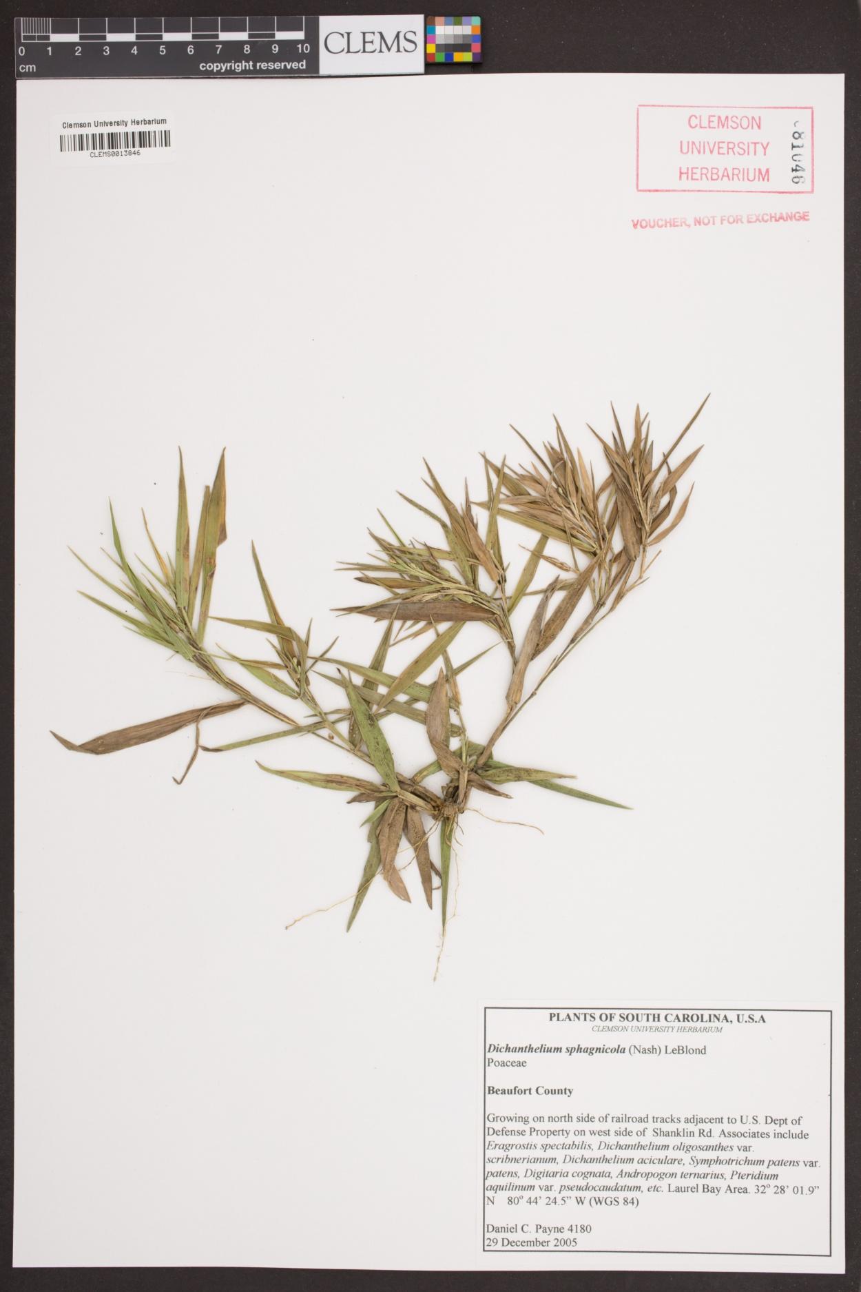 Dichanthelium sphagnicola image