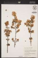 Ceanothus pauciflorus image