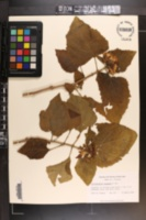 Clerodendrum chinense image