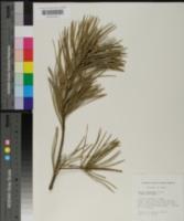 Pinus bungeana image