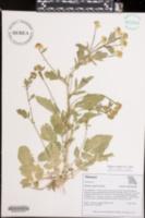 Barbarea vulgaris image