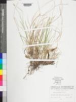 Carex angustior image
