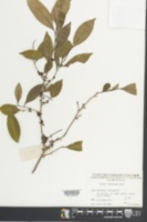 Image of Eurya loquaiana