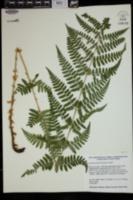 Dryopteris × boottii image