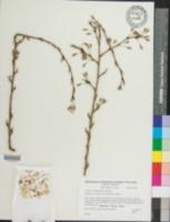Prunus subhirtella image