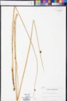 Schoenoplectus americanus image