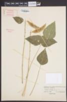 Phaseolus lunatus image