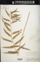 Image of Polystichum hookerianum