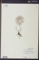 Image of Schizaea poeppigiana
