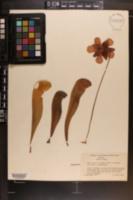 Sarracenia x formosa image