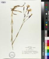 Dianthus superbus image