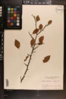 Prunus americana var. lanata image