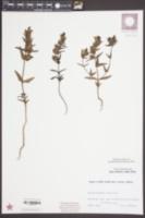 Image of Rhinanthus alpinus