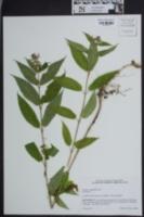 Image of Stachys clingmanii
