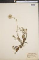 Antennaria parlinii var. arnoglossa image
