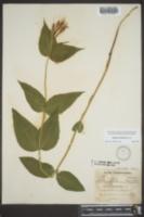 Spigelia marilandica image