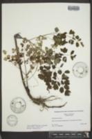 Thalictrum dioicum image