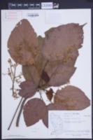 Image of Sterculia caribaea