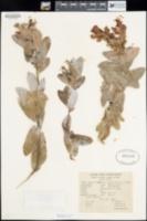 Arctostaphylos andersonii image