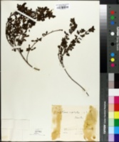 Image of Cytisus hirsutus
