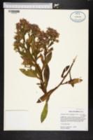 Image of Symphyotrichum elliottii