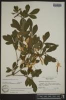 Rhododendron arborescens image