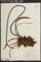 Nymphaea odorata image