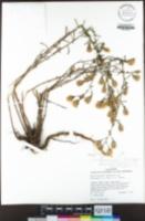 Dieteria canescens var. shastensis image