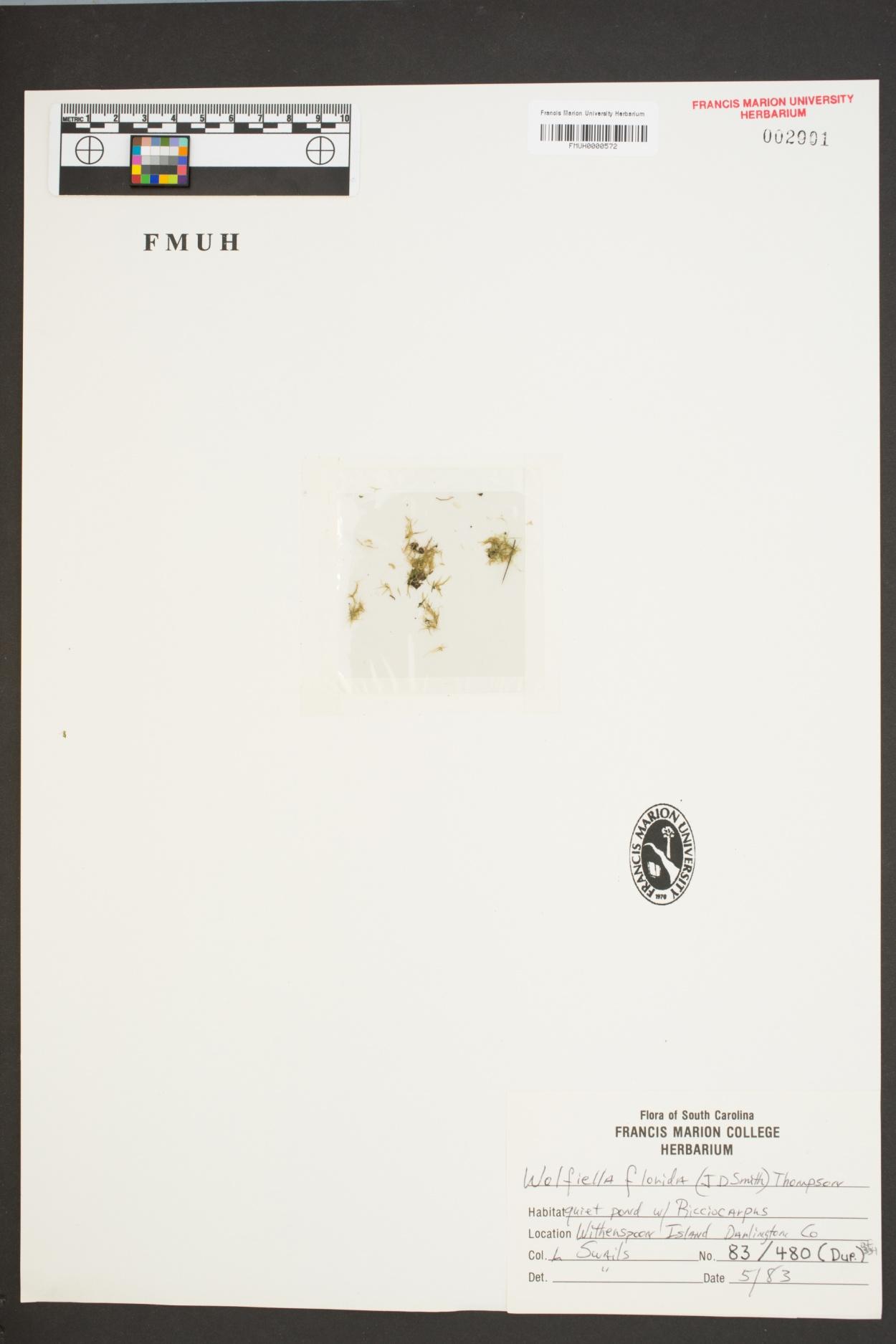 Wolffiella floridana image