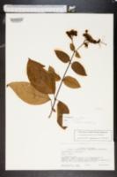 Image of Clerodendrum umbellatum