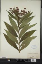 Vernonia noveboracensis image