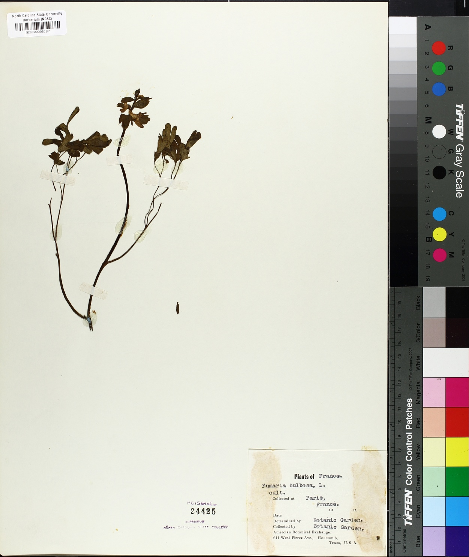 Corydalis caucasica image