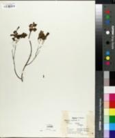 Image of Corydalis caucasica