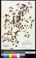 Image of Oxytheca emarginata