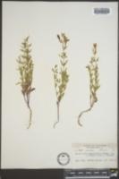 Scutellaria austinae image