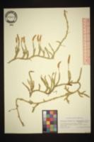 Lycopodium clavatum subsp. monostachyon image