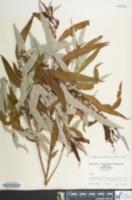 Image of Salix caroliniana