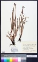 Actinostachys digitata image