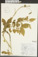 Senna occidentalis image