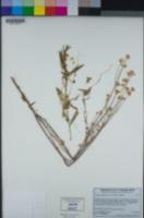 Cuscuta occidentalis image