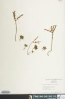 Image of Sedum glaucophyllum