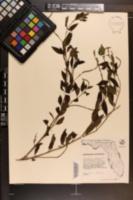 Heliotropium angiospermum image